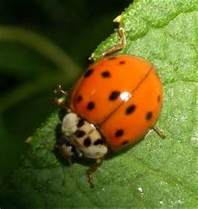 colors of ladybugs a bug of a different color the benefits of ladybugs
