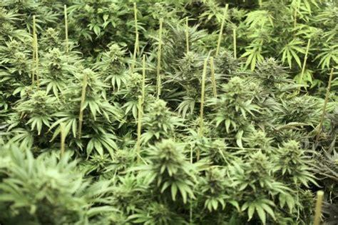 le uv cannabis comment trouver du cannabis en espagne