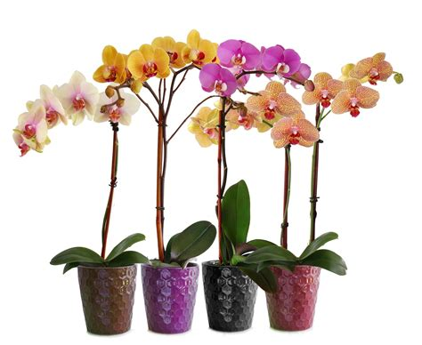 Indoor Planting by Phalaenopsis Orchids Indoor Flowers Plant Care Rocket Farms