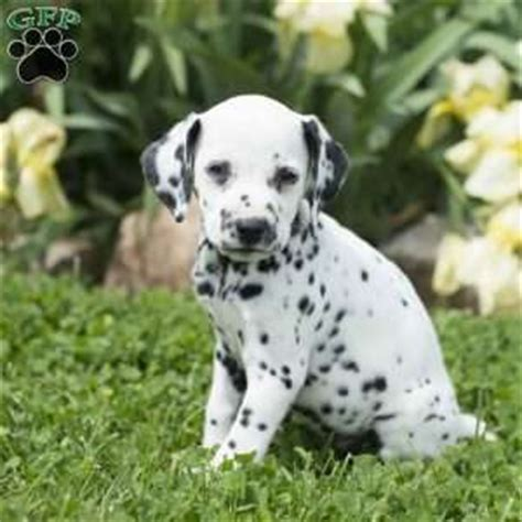 dalmatian puppies for sale in md dalmatian puppies for sale