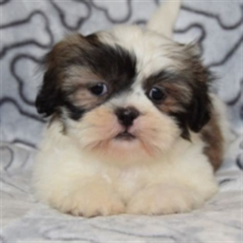 shih tzu puppies for sale in wv puppies for sale in pa ridgewood puppies for sale