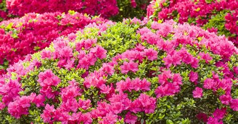 Flowering Garden Plants Feature Flower Friday Azalea