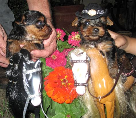 yorkie labor and delivery pocketbook pups terriers puppies