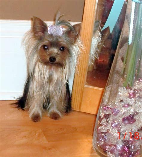 priceless yorkie puppy notice