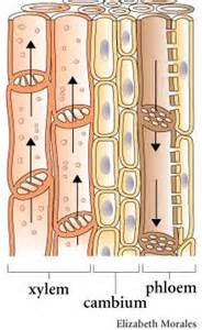 More on xylem and phloem