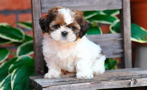 chocolate shih tzu for sale in pa shih tzu pa assistedlivingcares