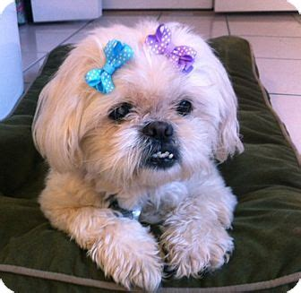 shih tzu and furbaby rescue inc jacksonville fl find a pet to adopt petsmart charities