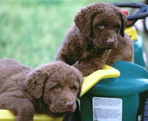 chesapeake puppies chesapeake bay retriever about chesapeake bay retrievers breeds picture