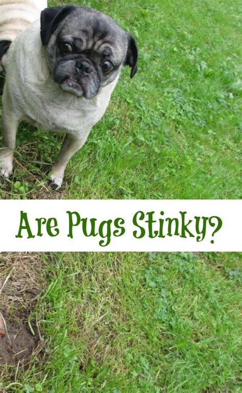 why do pugs smell frank beans