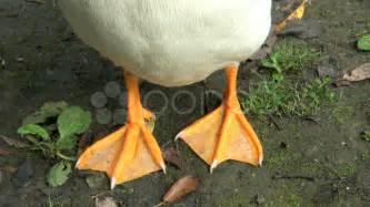 duck feet legs hd amp 4k stock footage 8689573 pond5