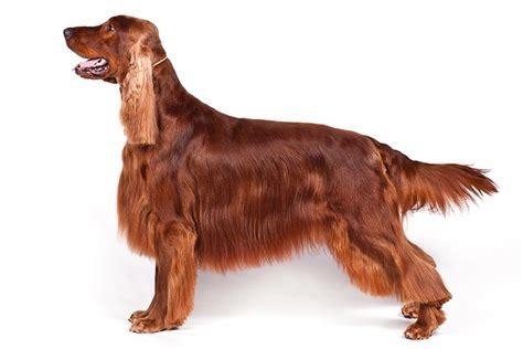 red setter dog weight irish setter dog breed information