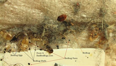 little brown bugs that look like bed bugs small flying bugs in bedroom insects resembling bedbugs