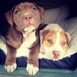 adorable pit bull puppy 15
