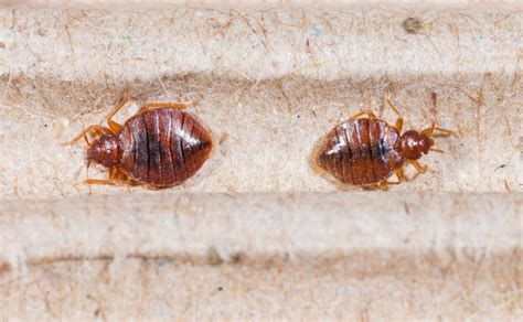 how bed bugs look bugs that look like bed bugs and how to identification bed