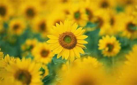 sunflowers background wallpapers sunflowers desktop wallpapers