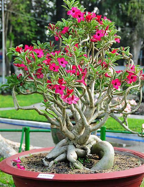jenis tanaman bunga hias  pot