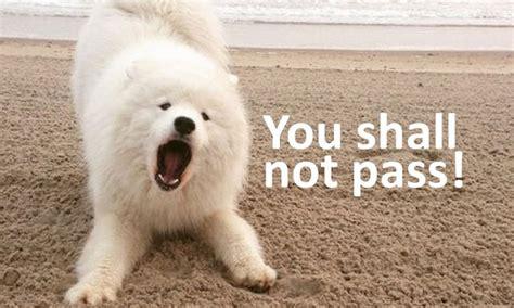 samoyed dog memes page   paws