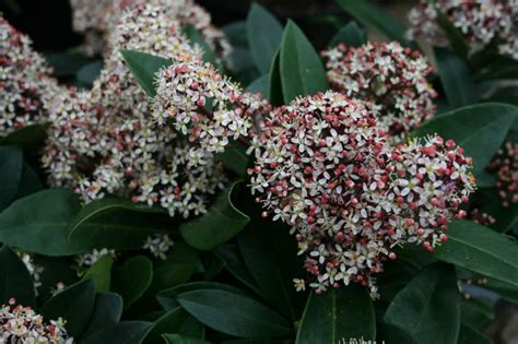 21 best images about winter scented shrubs on pinterest