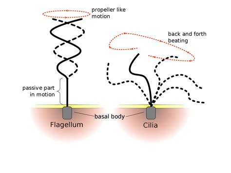 diagram of flagella flagella