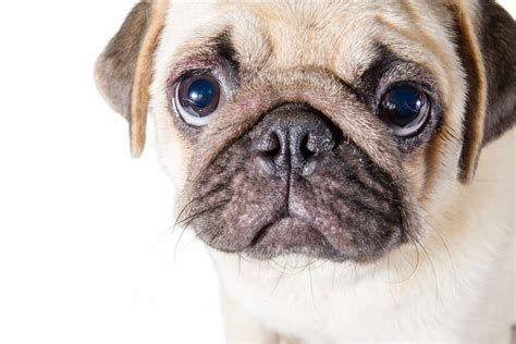 what you need to about pugs fourteen facts about pugs you need to vivamune health