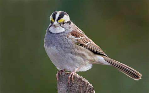 wwc bird crew blog bird profile white throated sparrow