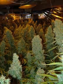 Room full of kalishnapple tropicanna top heavy babes breedbay