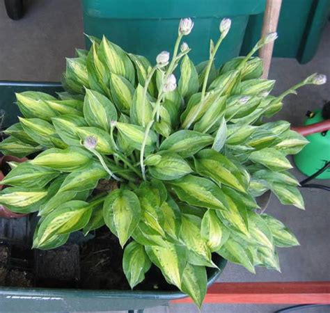 plants that require little sun hostas plants that need little sun the garden lady