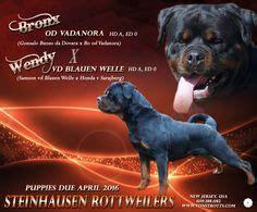 steinhausen rottweilers frozen available vom hause edelstein ifr world best producer owner