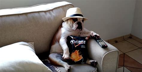 tv couch walking dead english bulldog watching the walking dead like a boss is