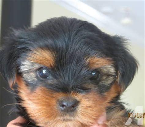akc yorkie breeders in nc akc terrier puppies 8 weeks for sale in hillsboro carolina