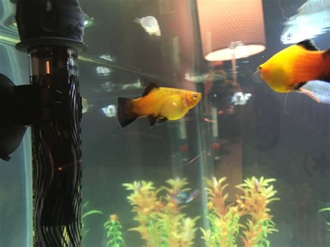 how much fish should i give my how much longer until my fish give birth my aquarium club