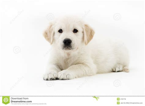 a puppy to stay puppy stay royalty free stock image image 416776