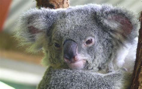 green koala wallpaper hd friendly koala wallpaper download free 108878
