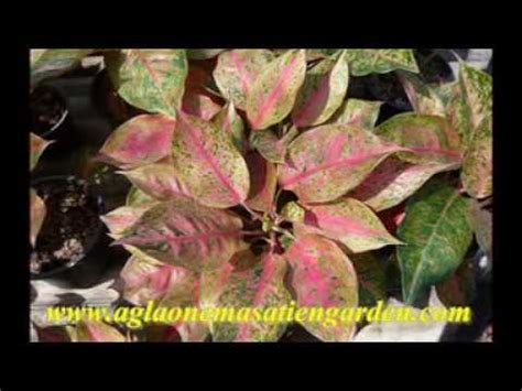 Pupuk Organik Untuk Bunga Hias cara menanam gelombang cinta tanamanbaru