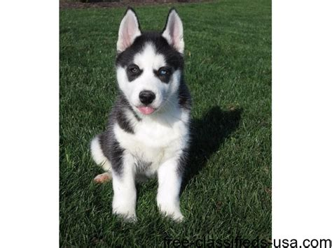 husky puppies for sale in nj adorable husky puppies for sale animals atlantic city new jersey announcement