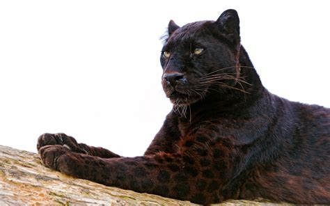 wallpaper black leopard black panther full hd wallpaper and background image
