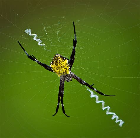 Hawaiian Garden Spider by Hawaiian Garden Spider Flickr Photo