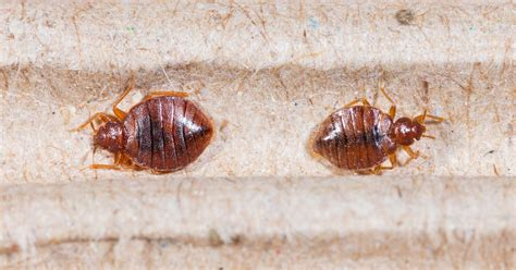 blutsauger im bett bettwanzen die unbemerkte gefahr im bett zecken insekten
