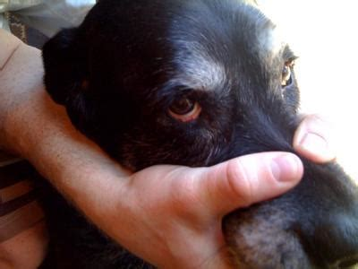 eye diseases in dogs eye problems 8 most common treatment options