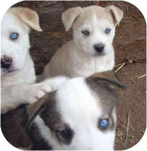puppies for sale in santa fe nm mix husky mix puppies for adoption husky puppies california siberian breeds picture