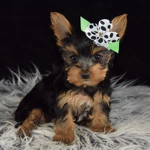 yorkies for sale 200 yorkie puppy for sale sugarplum puppies for sale in pa ny ri