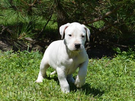 dogo puppy cole dogo argentino puppy for sale puppy