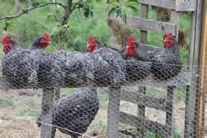 le jardin naturel elevage de poule quot coucou de rennes quot