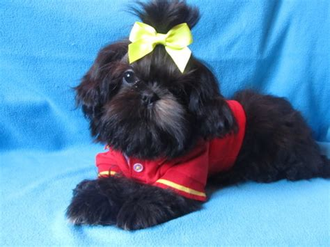 shih tzu puppies for sale mobile al shih tzu alabama breeder of and shih tzu puppies
