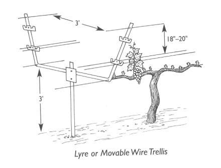 table grape trellis systems getting and in the vineyard dracaena wines