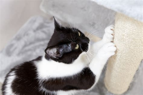 Spray To Deter Cats From Scratching Furniture by Prevent Cat From Scratching Carpet Meze