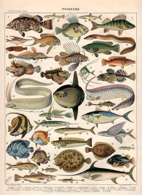 printable fish poster fish antique print 1897 vintage lithograph poisson poster