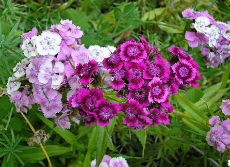 growing dianthus flowers in the garden how to care for