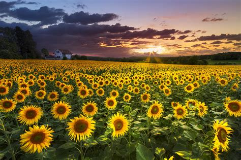 Florida Home Decor by Big Field Of Sunflowers Photograph By Debra And Dave