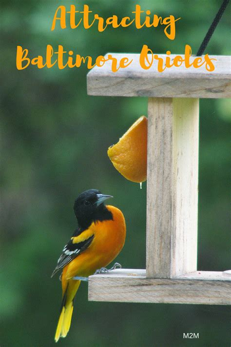 how to attract baltimore orioles to your backyard how to attract baltimore orioles to your backyard 28 images how to attract